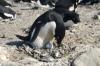 Un pinguino Adelia con un uovo