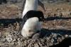 Un pinguino Adelia con un pulcino