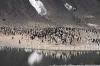 Una colonia di pinguini Adelia