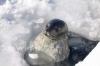 Foca di Weddel