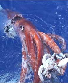 <p> Un esemplare di calamaro gigante</p>