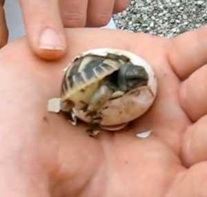Corriere2000 la nascita di una tartaruga corriere2000 - Pagine di colorazione tartaruga ...